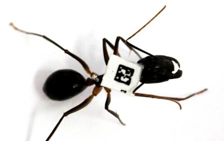 Barcoded ant in the lab of Dr. Ofer Feinerman