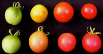 Genetically modified tomatoes produced by the Department of Plant Sciences.