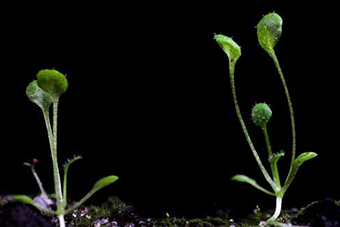 arabidopsis-tn