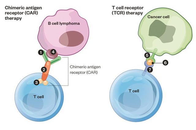 harnessing t cells to attack cancer