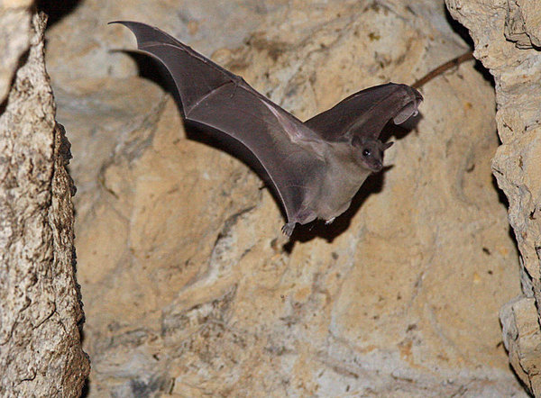 An Egyptian fruit bat flies in an abandoned quarry near the village of Mammari, west of Nicosia, in March 2007.