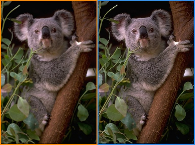 Picture of a koala - the left half has been sharpened using bicubic intrpolation, while the right half is from the Weizmann super-resolution algorithms (Photo: Weizmann Institute of Science)